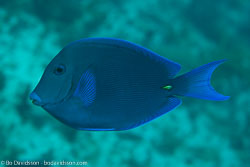 BD-101207-Playa-del-Carmen-2819-Acanthurus-coeruleus.-Bloch---Schneider.-1801-[Blue-tang-surgeonfish].jpg